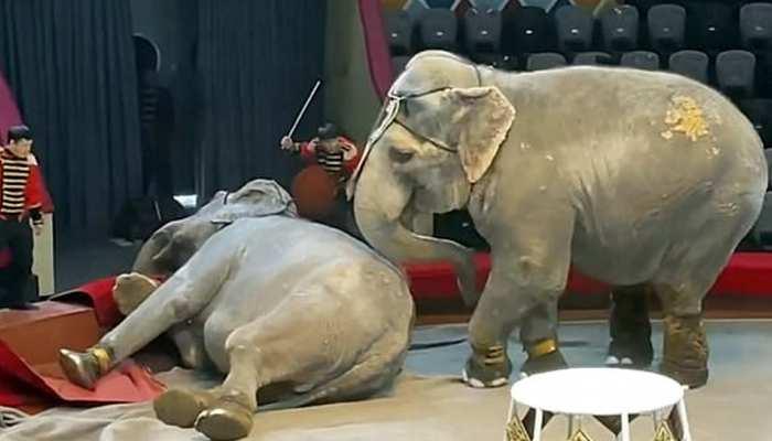 VIDEO: सर्कस में अचानक से भिड़ गए दो हाथी, हुआ कुछ ऐसा कि भागने लगे दर्शक