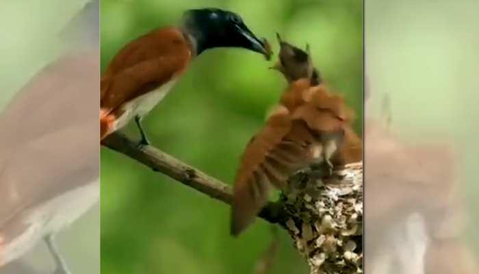 भूख से चहचहा रहे थे चिड़िया के बच्चे, फिर जो हुआ VIDEO देखकर हो जाएंगे इमोशनल