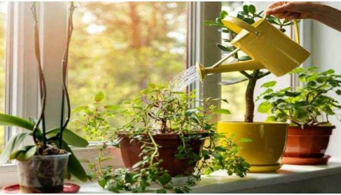Tulsi Plant Care: घर में मुरझा रहा है तुलसी का पौधा तो हो जाएं सतर्क! ध्यान से करें ये काम