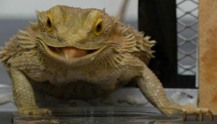 Bearded Dragon: Temperature बढ़ने पर बदल जाता है इस जीव का लिंग, जानिए कैसे