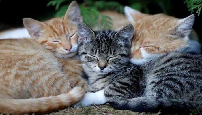 Covid-19: इंसानों से बिल्लियों में हुआ Coronavirus का ट्रांसमिशन, स्टडी में खुलासा