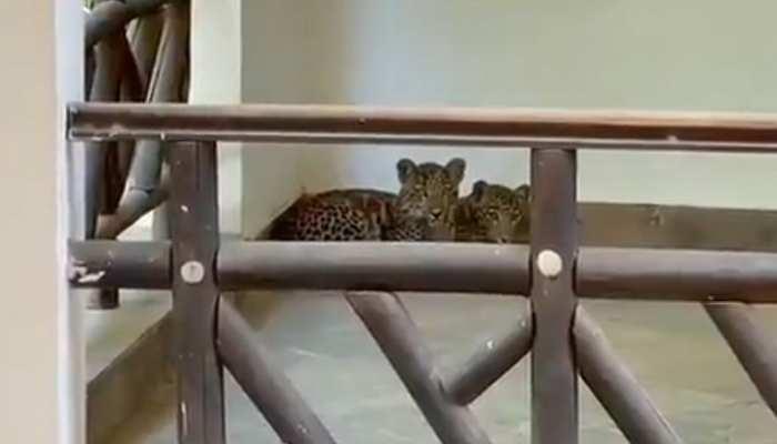 Ranthambore National Park से निकलकर होटल में घुसे दो पैंथर, पकड़ने के प्रयास जारी