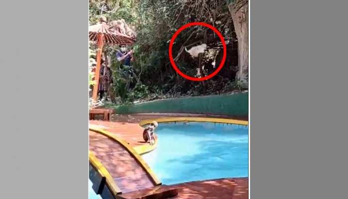 लॉकडाउन में बंदर स्विमिंग पूल में लगा रहे छलांग, Video पर लोगों के आए मजेदार रिएक्शन