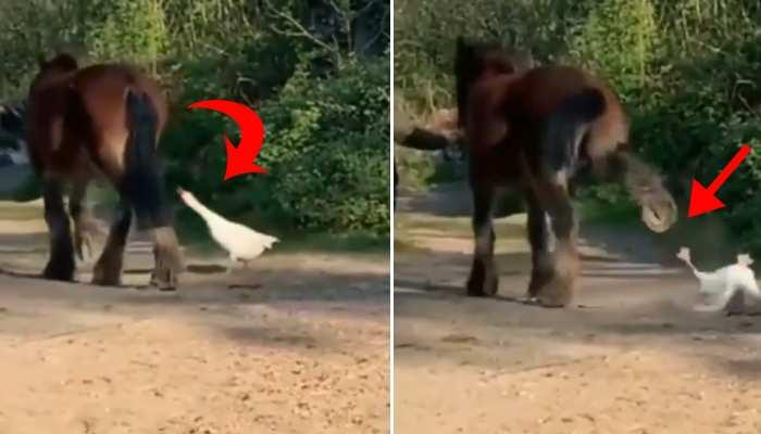 बत्तख की छेड़खानी पर घोड़े ने मारी जोरदार लात, 2 करोड़ बार देखा गया Video