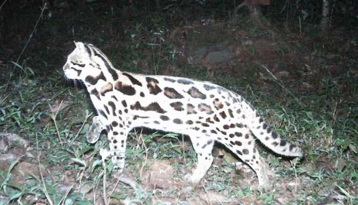 भारत के जंगल में दिखा अजीबोगरीब 'चितकबरा' जानवर, ट्विटर पर वायरल हुई Photo