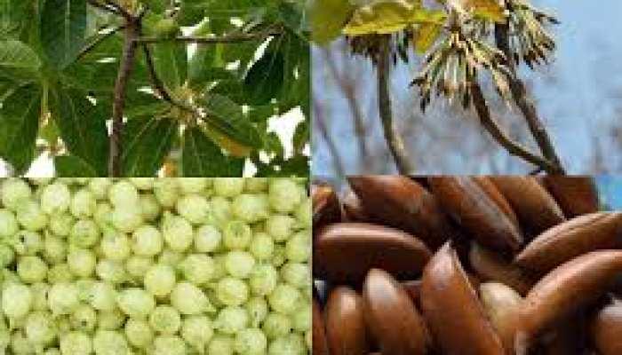 """""""महुआ"""" जिससे बनती है शराब वो है आयुर्वेद का खजाना, खतरनाक बीमारियों का है दुश्मन!"""