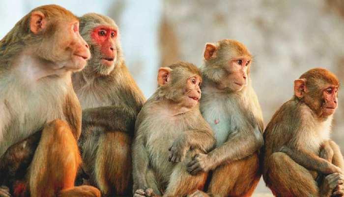 लड़की ने दबा दिया एक बंदर का हाथ, गुस्से में आए 35 बंदरों ने घेरा, बुलानी पड़ी पुलिस