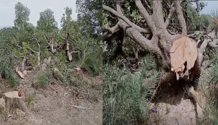 पूरा देश मना रहा था पर्यावरण दिवस, राजगढ़ में चल रही थी सैकड़ों हरे पेड़ों पर कुल्हाड़ी