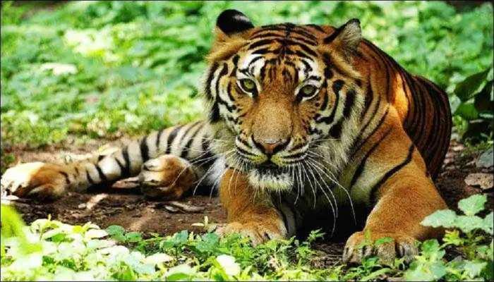 टाईगर रिजर्व से भटक कर बाघ पहुंचा 150 किलोमीटर दूर मोतिहारी, DM के नेतृत्व में चल रहा है रेस्क्यू ऑपरेशन