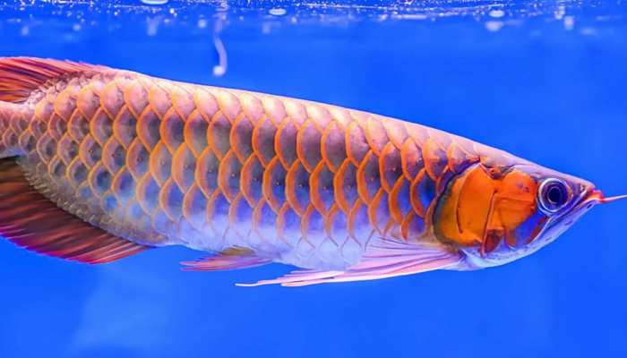 Only one arowana fish is sold for so many crores, Know more facts about this