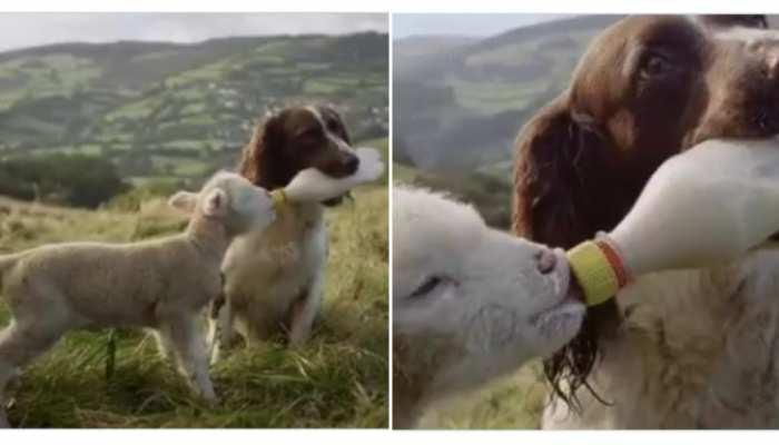 Viral Video: कुत्ते ने बकरी के बच्चे को बोतल से पिलाया दूध, देखकर दंग रह गए लोग