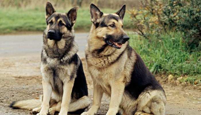 कुत्तों को मिली सजा ए मौत! पड़ोसी को काटा तो जान देकर चुकानी होगी कीमत