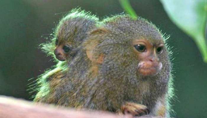 monkey b virus BV in china death Ratio Latest update