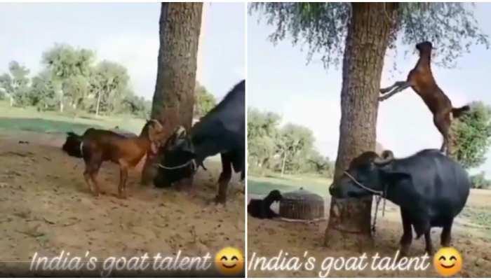 Jugaad Video: पत्ती खाने के लिए भैंस के ऊपर चढ़ गई बकरी, टैलेंट देख बजाएंगे ताली
