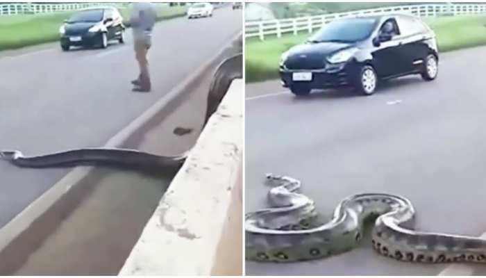 Weird Video: सड़क पार कर रहा था Anaconda, देखते ही थम गया ट्रैफिक