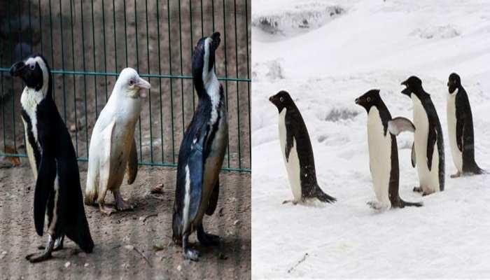 पेंग्विन की रखवाली के लिए दिया 15.26 करोड़ का टेंडर, इस राज्य में खड़ा हुआ विवाद