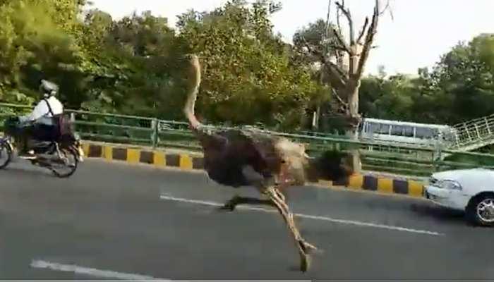 पाकिस्तान की सड़क पर अचानक दौड़ने लगा 'इतना बड़ा पक्षी', देखकर भागने लगे लोग